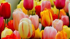 Flores de la primavera: un cierre para arriba del tulipanes coloridos brillantes en la estación de primavera Imagen de archivo
