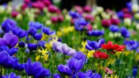 Flores de la primavera: una alfombra de annemonae azules con acentos rojos, blancos, amarillos y púrpuras Imágenes de archivo libres de regalías
