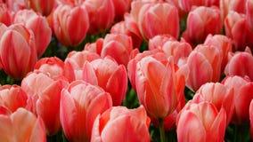 Flores de la primavera: una alfombra de annemonae azules con acentos rosados y amarillos fotografía de archivo