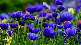 Flores de la primavera: una alfombra de annemonae azules en un fondo verde Imagen de archivo libre de regalías