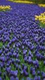 Flores de la primavera: una alfombra de la flor azul del muscari en la forma de un río entre los árboles Foto de archivo libre de regalías