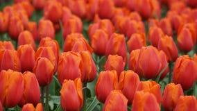 Flores de la primavera: una alfombra de tulipanes anaranjados/rojos en estación de primavera Imagenes de archivo
