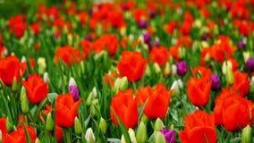 Flores de la primavera: una alfombra de tulipanes rojos con los acentos blancos y púrpuras imagen de archivo libre de regalías