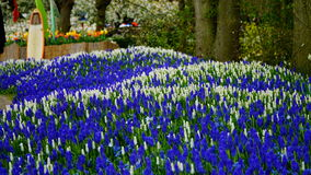 Flores de la primavera: una alfombra del muscari blanco y azul florece foto de archivo
