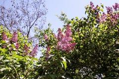 Flores de la primavera de una lila imagen de archivo libre de regalías