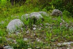 Flores de la primavera y cantos rodados grandes en una hierba Foto de archivo libre de regalías