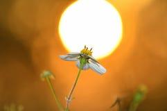Flores de la puesta del sol Fotografía de archivo libre de regalías