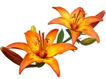 Flores de la rabina Fotos de archivo