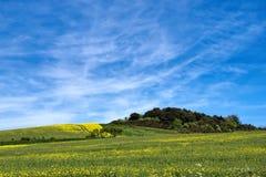 Flores de la rabina - napus de la brassica Fotos de archivo