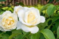 Flores de la rosa del blanco en el jardín Imágenes de archivo libres de regalías