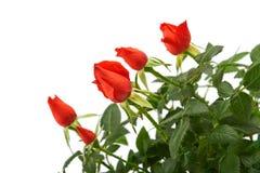 Flores de la rosa del rojo en un pote plástico Imagen de archivo libre de regalías