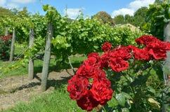 Flores de la rosa del rojo en viñedo Fotografía de archivo libre de regalías