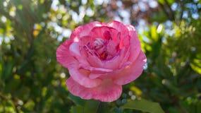 Flores de la rosa del rosa Fotografía de archivo libre de regalías