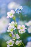 Flores de la saxífraga y de las nomeolvides Imagenes de archivo