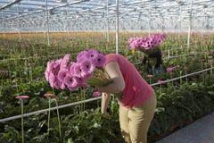 Flores de la selección de las mujeres en invernadero Foto de archivo