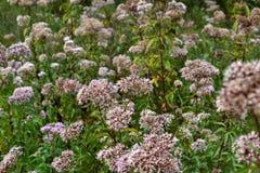 Flores de la valeriana. Fotografía de archivo libre de regalías
