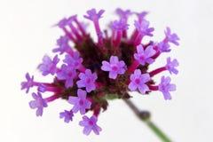 Flores de la verbena Fotografía de archivo libre de regalías