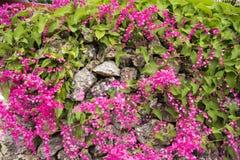 Flores de la vid coralina fotografía de archivo