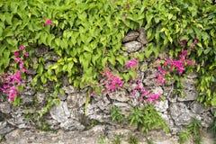 Flores de la vid coralina foto de archivo libre de regalías