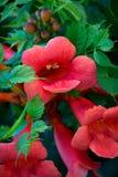 Flores de la vid de trompeta Foto de archivo libre de regalías