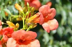 Flores de la vid de trompeta (radicans de Campsis) Imagen de archivo libre de regalías