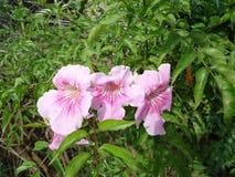 Flores de la vid de trompeta rosada Imagen de archivo libre de regalías