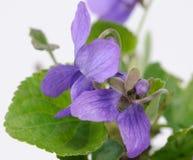 Flores de la viola de la hierba en primer Fotos de archivo