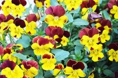Flores de la viola en el jardín imagenes de archivo