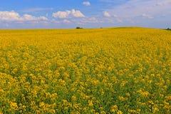 Flores de la violación de semilla oleaginosa Foto de archivo libre de regalías