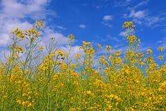 Flores de la violación de semilla oleaginosa Imágenes de archivo libres de regalías