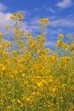 Flores de la violación de semilla oleaginosa Fotografía de archivo