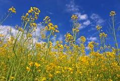 Flores de la violación de semilla oleaginosa Fotos de archivo