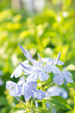 Flores de la violeta blanca en el jardín Foto de archivo libre de regalías