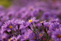 Flores de la violeta del otoño foto de archivo