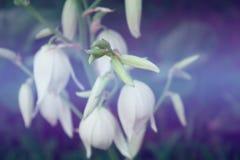 Flores de la yuca Foto de archivo