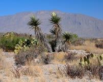 Flores de la yuca en el paisaje del desierto Foto de archivo