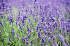 Flores de las abejas de la lavanda y del vuelo Imágenes de archivo libres de regalías