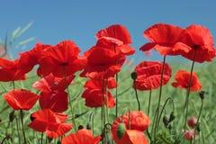 Flores de las amapolas Foto de archivo libre de regalías