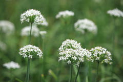 Flores de las cebolletas Fotos de archivo libres de regalías