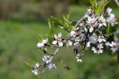 Flores de las flores de cerezo de la primavera Flores blancas de la primavera en un árbol Fotos de archivo libres de regalías