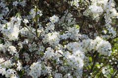 Flores de las flores de cerezo de la primavera Flores blancas de la primavera en un árbol Fotografía de archivo