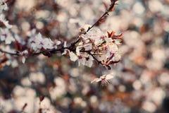 Flores de las flores de cerezo de la primavera Flores blancas de la primavera en un árbol Imágenes de archivo libres de regalías