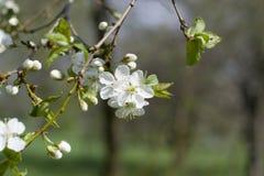 Flores de las flores de cerezo de la primavera Flores blancas de la primavera en un árbol Imagen de archivo libre de regalías