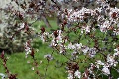 Flores de las flores de cerezo de la primavera Flores blancas de la primavera en un árbol Imagen de archivo