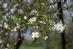 Flores de las flores de cerezo de la primavera Flores blancas de la primavera en un árbol Fotografía de archivo libre de regalías