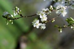 Flores de las flores de cerezo de la primavera Flores blancas de la primavera en un árbol Fotos de archivo