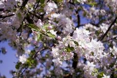 Flores de las flores de cerezo de la primavera Flores blancas de la primavera en un árbol Imagenes de archivo