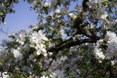 Flores de las flores de cerezo de la primavera Flores blancas de la primavera en un árbol Foto de archivo