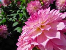 Flores de las dalias Imágenes de archivo libres de regalías