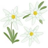 Flores de las edelweiss Imágenes de archivo libres de regalías